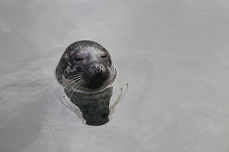 Seal Photograph - Lora by Jim Dohms