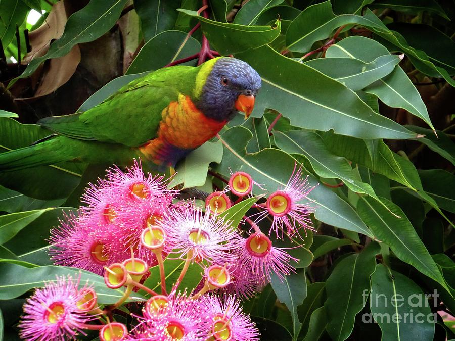 Lorikeet by Fran Woods
