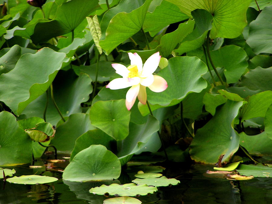 Lotus Photograph - Lost City Lotus by Michael Durst