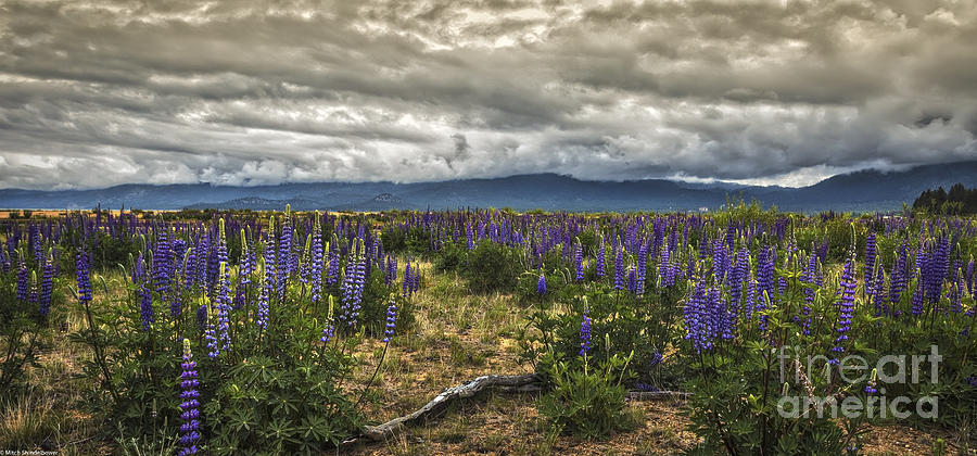 Lupine Photograph - Lost In The Lupine by Mitch Shindelbower