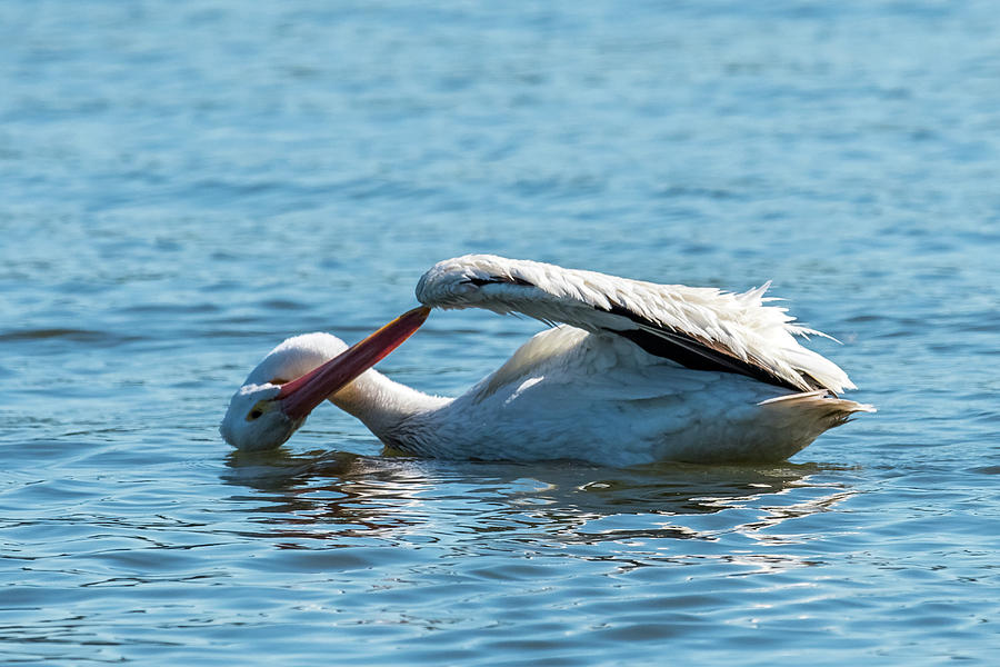 Pelican Photograph - Lost Something by Paul Freidlund