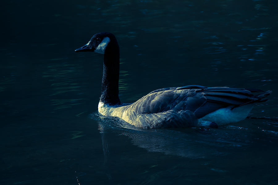 Goose Photograph - Lost Stare  by Kristin Hunt