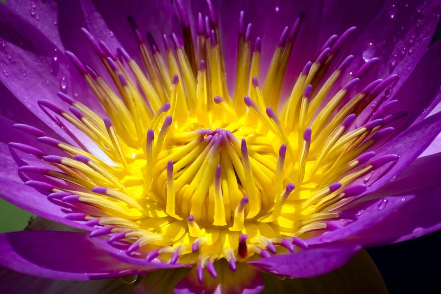 Aquatic Photograph - Lotus 12 by Jijo George