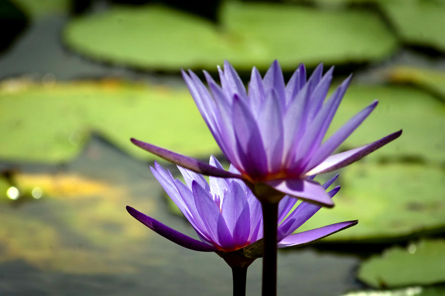 Aquatic Photograph - Lotus 5 by Jijo George