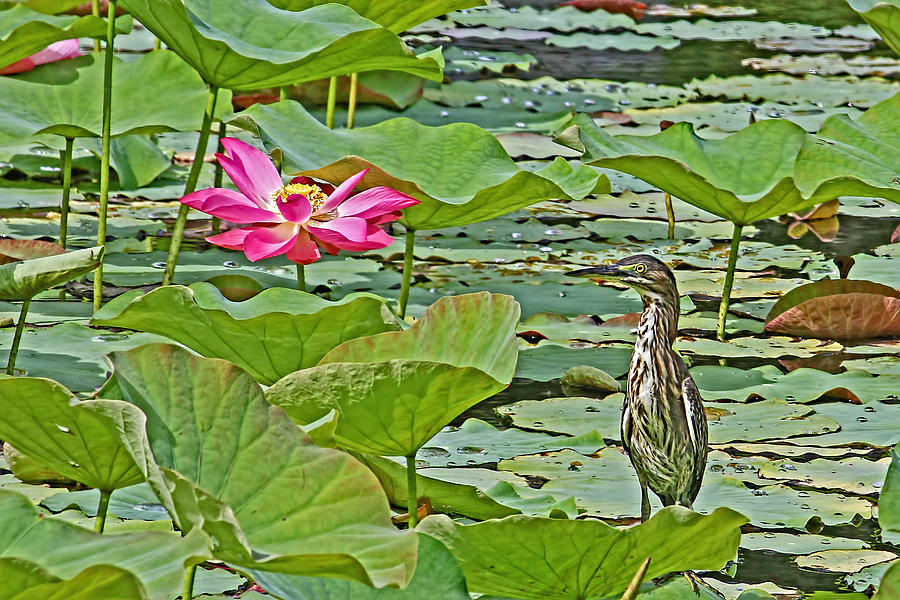 Green Heron Photograph - Lotus Blossom And Heron by HH Photography of Florida