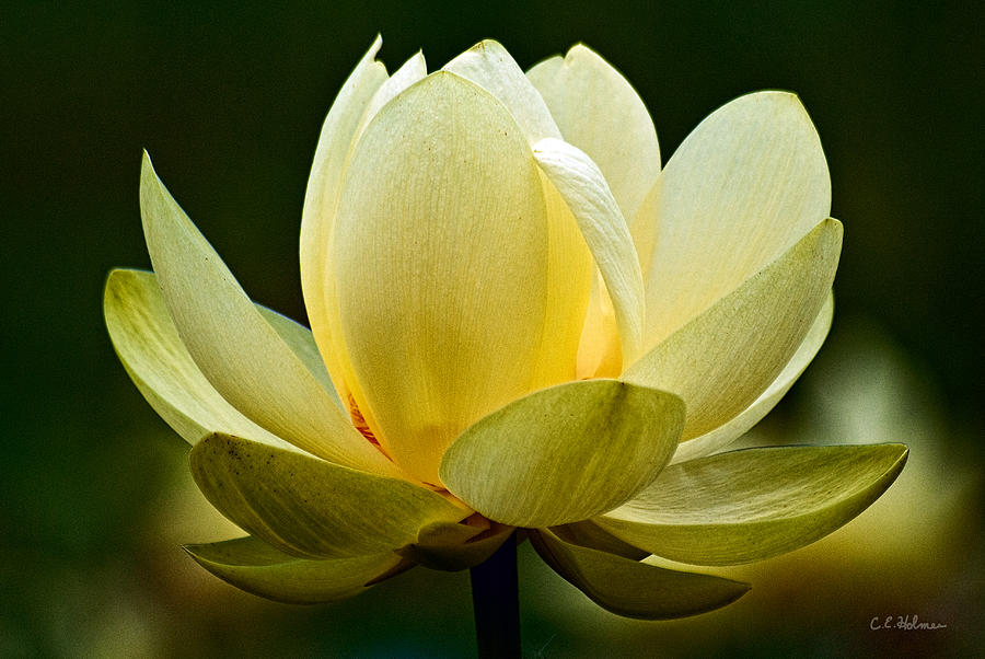 Flower Photograph - Lotus Blossom by Christopher Holmes