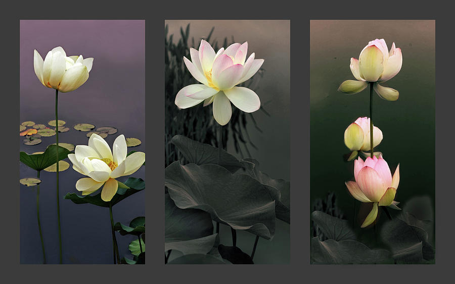 Lotus Photograph - Lotus Collection II by Jessica Jenney