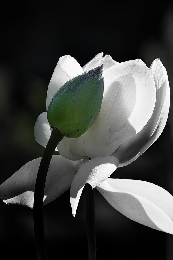 Lotus Flower and Bud by Dennis Kowalewski