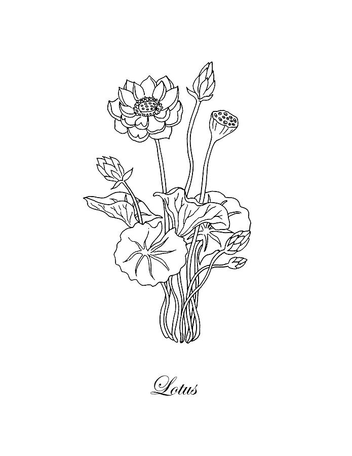 Lotus flower botanical drawing black and white drawing by irina lotus drawing lotus flower botanical drawing black and white by irina sztukowski mightylinksfo