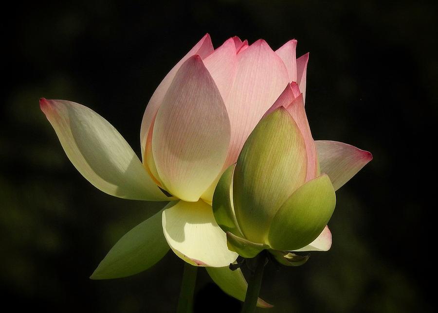 Lotus flower buds photograph by patty ballay lotus flower photograph lotus flower buds by patty ballay mightylinksfo