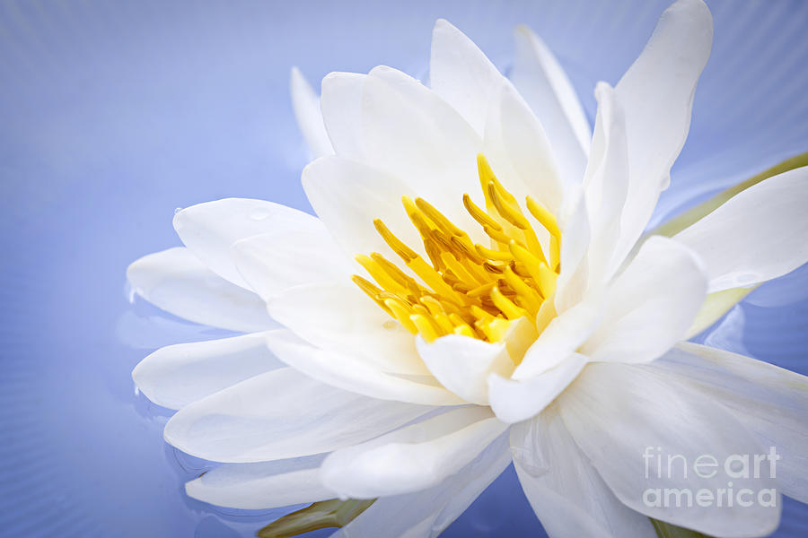 Lotus Flower Photograph