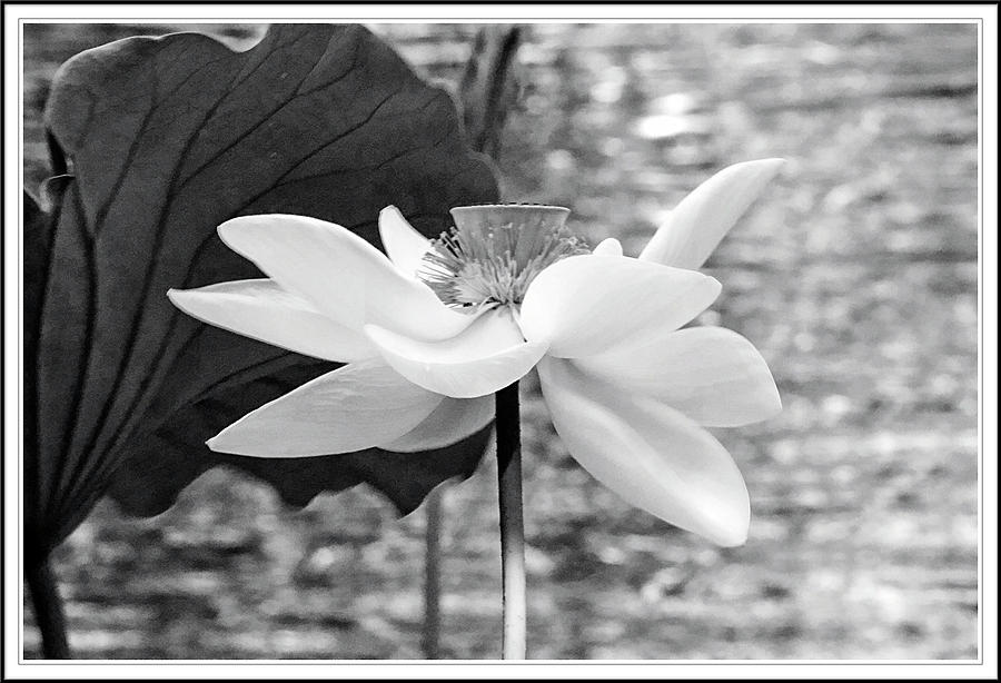 Lotus Flower In Black And White Photograph