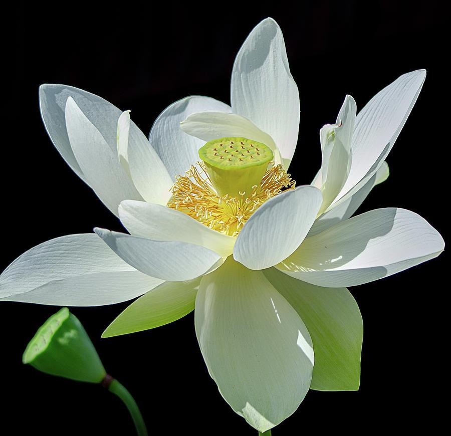 Lotus Flower of Devotion by Julie Palencia