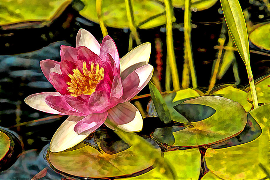Lotus Flower On Lily Pads Painted Photograph By Geraldine Scull