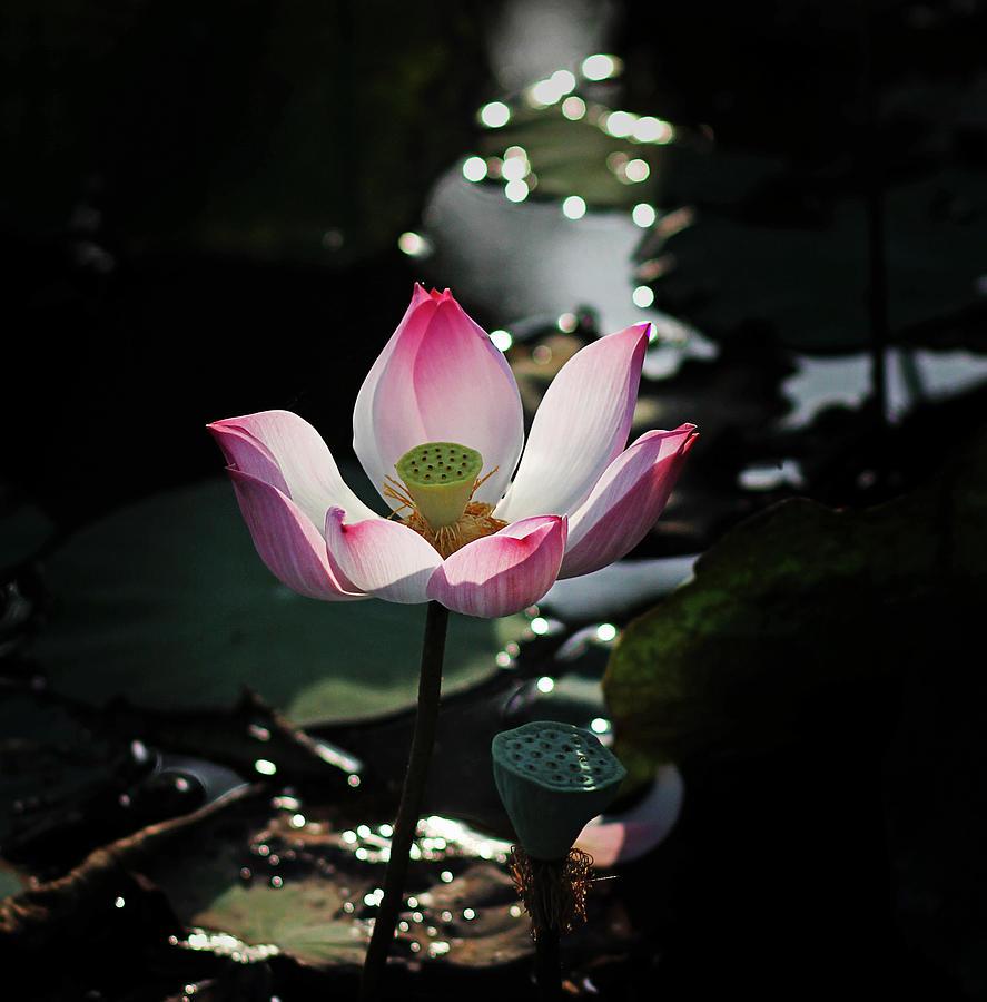 Lotus Flower Photograph By Tran Minh Quan
