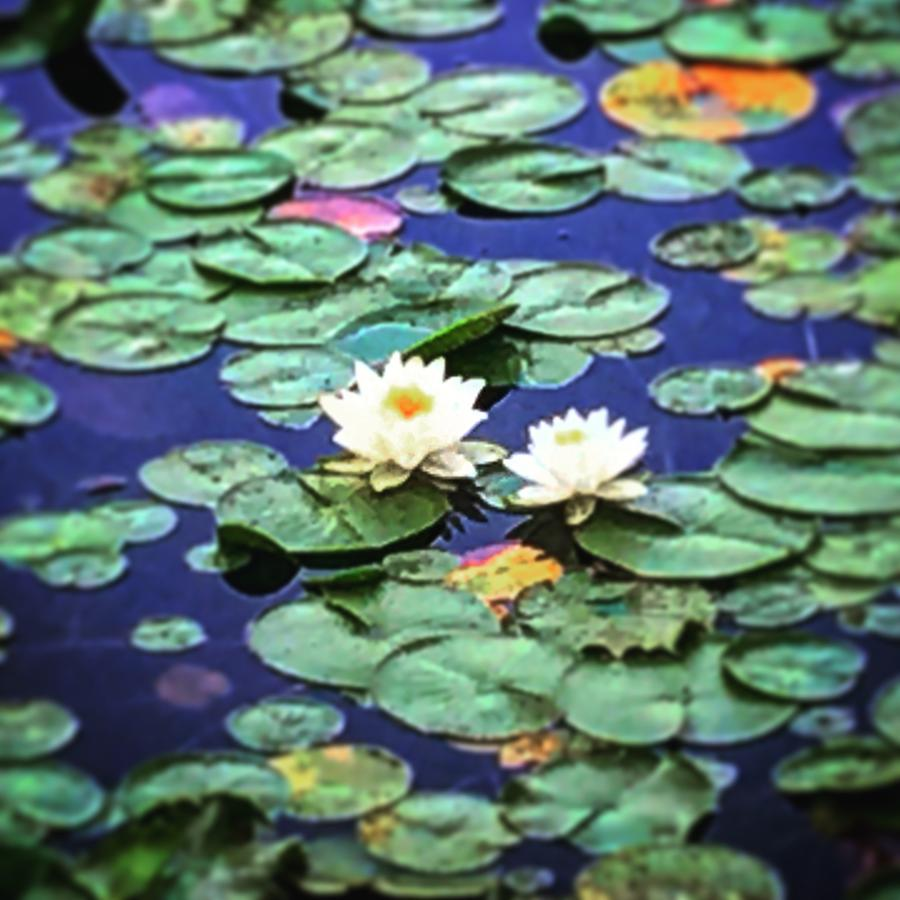 Lotus Flowers And Lily Pads Photograph By Chantel Schieffer
