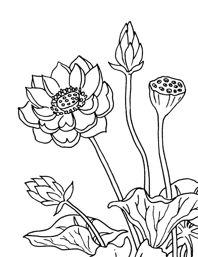 Lotus flowers drawing drawing by irina sztukowski lotus drawing lotus flowers drawing by irina sztukowski mightylinksfo