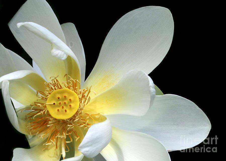 Lotus Photograph - Lotus From Above by Sabrina L Ryan