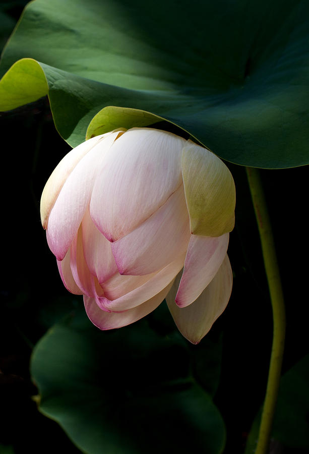 Lotus Photograph - Lotus In The Evening  by Catherine Lau