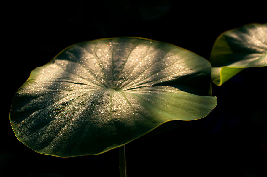 Leaves Photograph - Lotus Leaves Morning  Shower by Catherine Lau