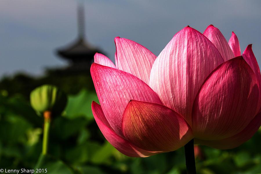 Lotus Photograph - Lotus by Leonard Sharp