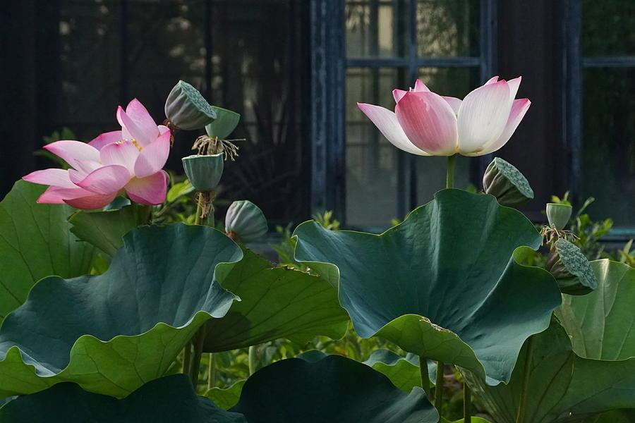 Lotus Lovelies by Byron Varvarigos