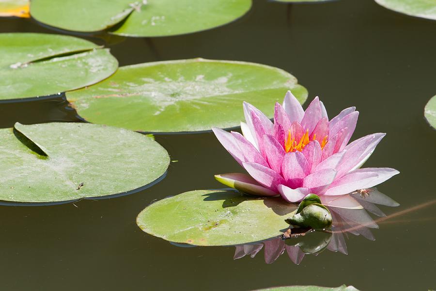 Flower Photograph - Lotus by Patrick Pestre