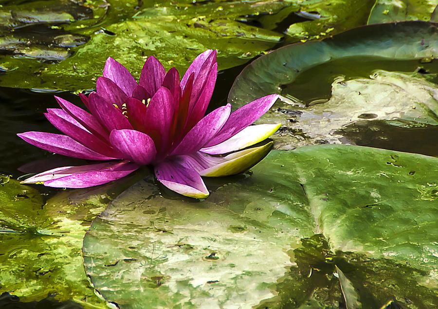Botanic Photograph - Lotus by Svetlana Sewell