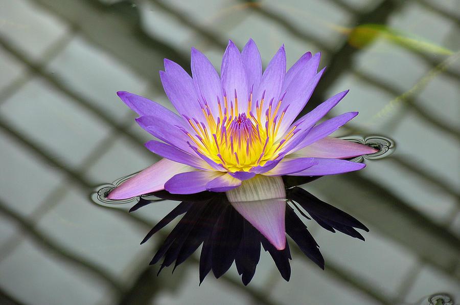 Lotus Photograph - Lotus by Vari Buendia