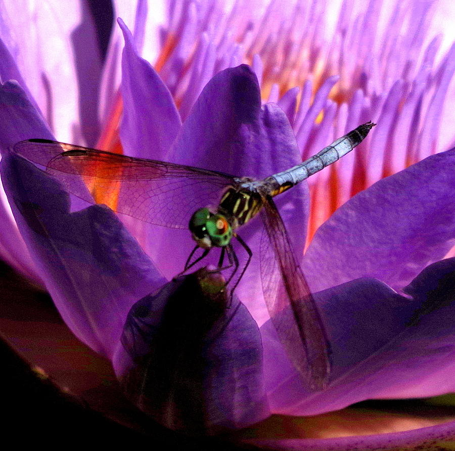 Dragonfly Photograph - Louie by Erin Rednour