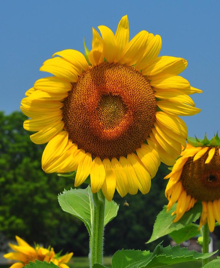 Sunflower Photograph - Louisa, Va. Sunflower 6 by Amy Spear