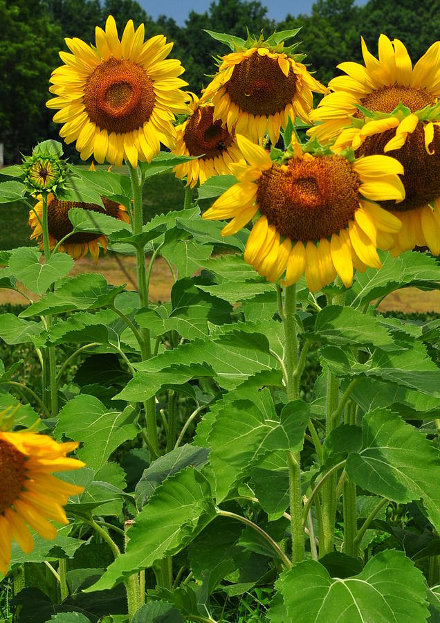 Sunflowers Photograph - Louisa, Va. Sunflowers 3 by Amy Spear