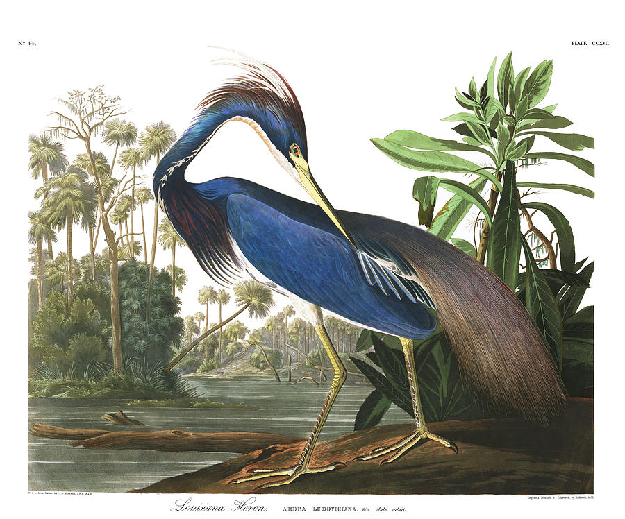 Blue Heron Painting - Louisiana Blue Heron by John James Audubon