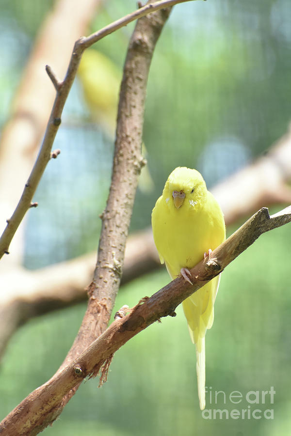 Budgie Photograph - Lovable Little Budgie Parakeet Living In Nature by DejaVu Designs