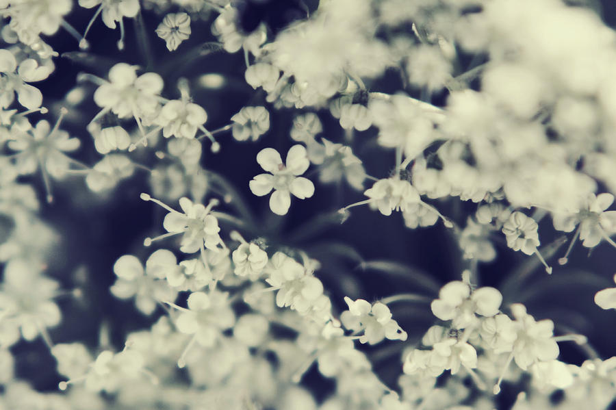 Queen Anne's Lace Photograph - Love And Lace by Laurie Search