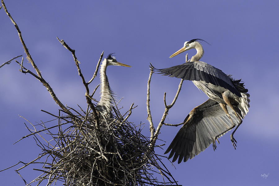 Great Blue Heron Photograph - Love At First Sight by Everet Regal