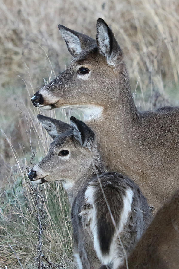 White-tailed Deer Photograph - Love by Doris Potter