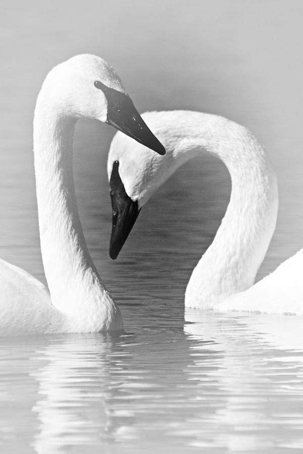 Trumpeter Swans Photograph - Love In Black And White by Larry Ricker