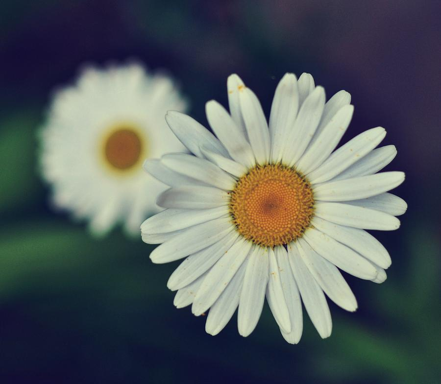 Daisy Photograph - Love Me Love Me Not by JAMART Photography