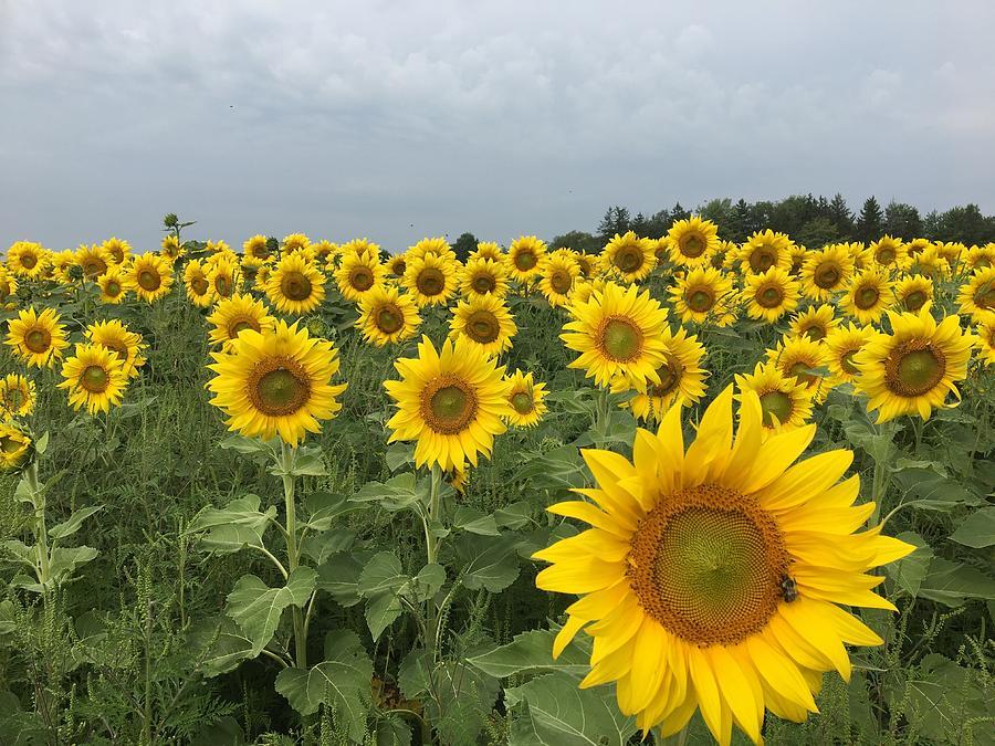 Sunflower Photograph - Love My Sunflowers by Heidi Moss