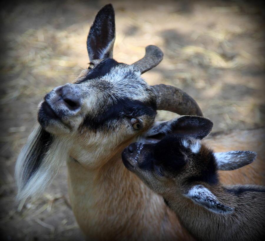 Goats Photograph - Love On A Farm by Karen Wiles