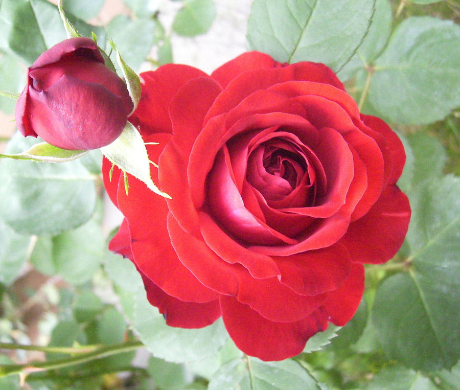 Love Roses Photograph by Lisa Roy