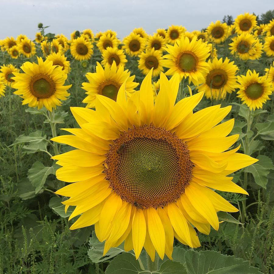 Sunflower Photograph - Love Sunflowers by Heidi Moss
