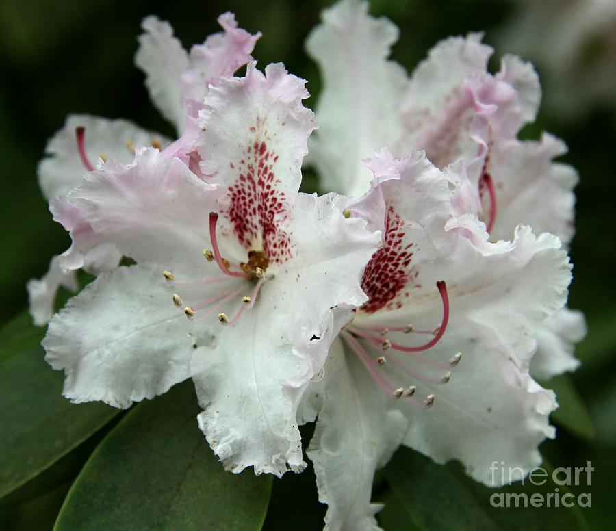 Rhododendron Photograph - Lovely Blossoms by Christiane Schulze Art And Photography