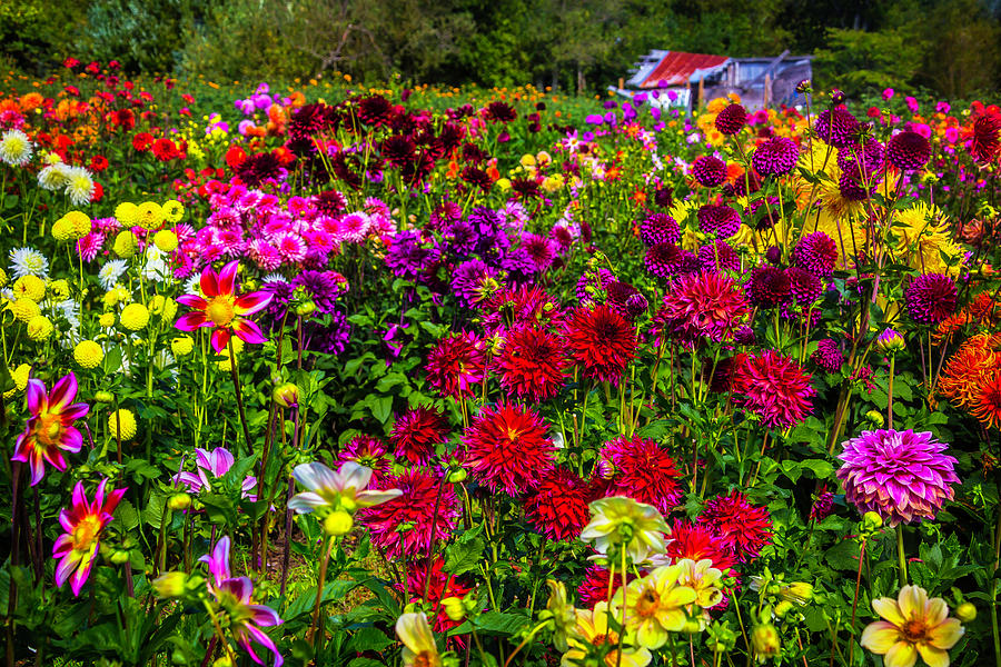 Dahlia Photograph - Lovely Dahlia Garden by Garry Gay