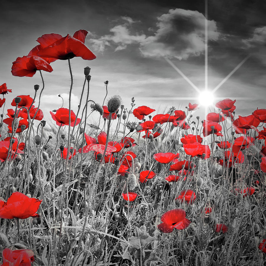 Angiosperms Photograph - Lovely Field Of Poppies With Sun  by Melanie Viola