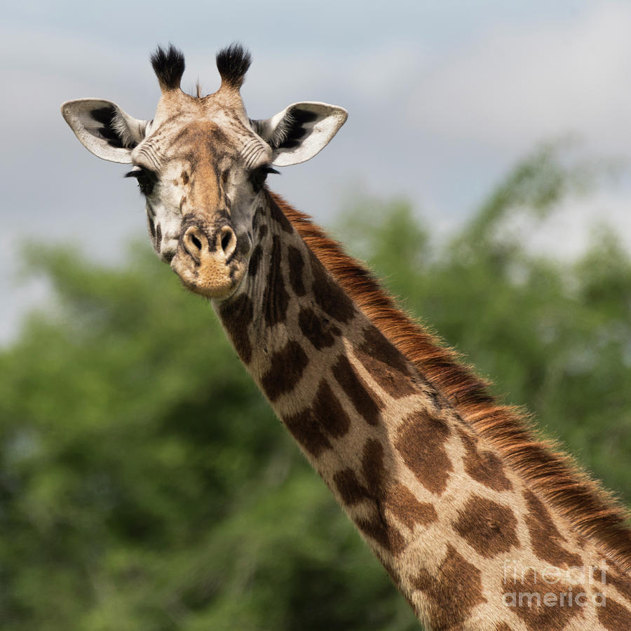 Giraffe Photograph - Lovely Giraffe In Tarangire - Square Format by RicardMN Photography