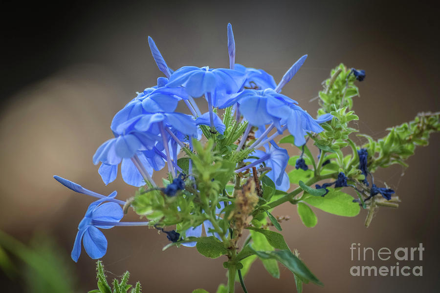 Flowers Photograph - Lovely In Blue by Christina Winkle