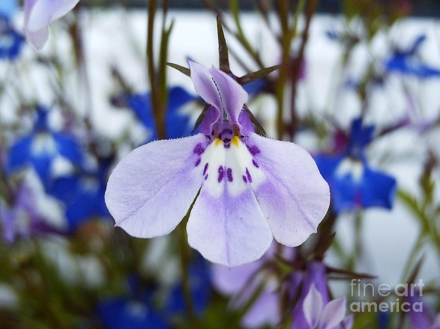 Lilac Photograph - Lovely Lilac Lobelia by Deborah Brewer
