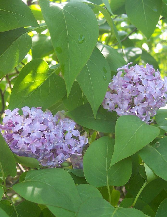 Lovely Lilacs 2 Photograph by Anna Villarreal Garbis